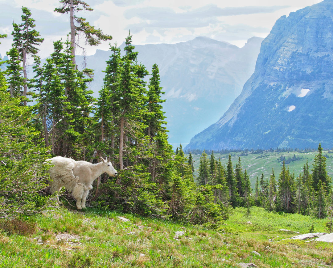 sculpting mountain goats in glacier national park